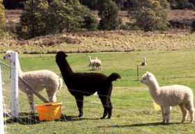 Maydena Country Cabins Accommodation  Alpaca Stud - Carnarvon Accommodation