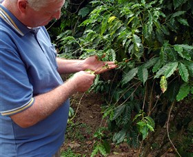 Wombah Coffee Plantation - Carnarvon Accommodation