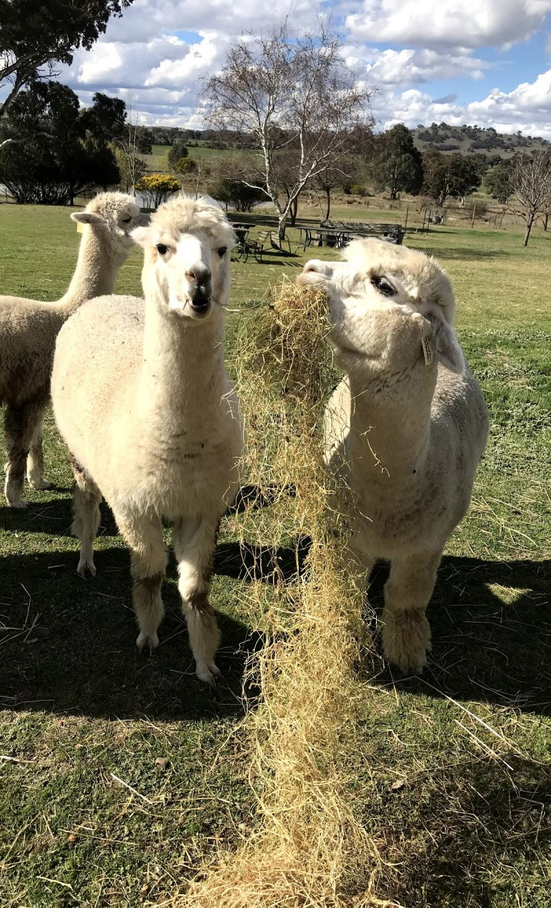 Clearview Alpacas - Carnarvon Accommodation