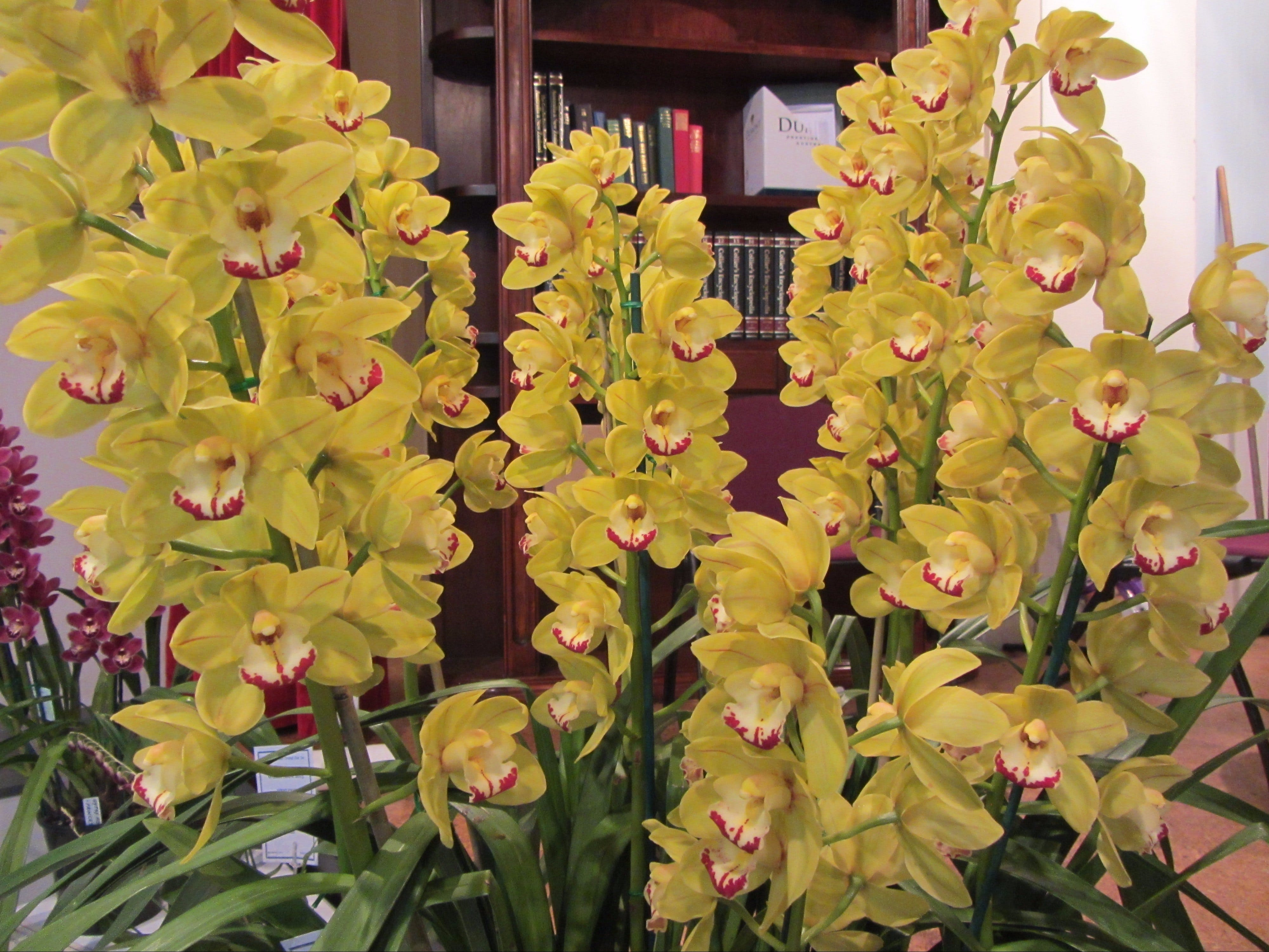 Sapphire Coast Orchid Club Winter Orchid Show - Carnarvon Accommodation